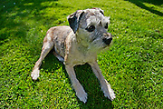 10 year-old Border Terrier dog, Jess,  sitting in the sunshine in a country garden, England