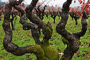 Old Autumn Vines in Napa Valley, near Calistoga, California