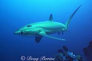 pelagic thresher shark or fox shark, Alopias pelagicus, Monad Shoal, off Malapascua, Cebu, Philippines  ( Visayan Sea, Western Pacific Ocean )