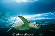green sea turtle, <br /> Chelonia mydas, <br /> Atlantis Resort, Paradise Island, <br /> near Nassau, New Providence, Bahamas