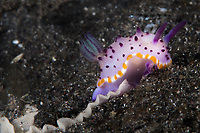 This Marie's Mexichromis (Mexichromis mariei) is laying a trail or ribbon of eggs. Each species of nudibranch has a distinct pattern when it lays eggs and this allows biologists to identify which eggs belong to which animal.