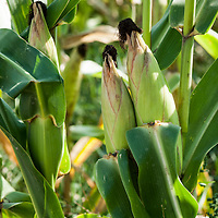 Want to hear an A-Maize-ing joke?<br /> What did the Corn on the Cob say to the other?  I'm all ears! <br /> <br /> All Content is Copyright of Kathie Fife Photography. Downloading, copying and using images without permission is a violation of Copyright.