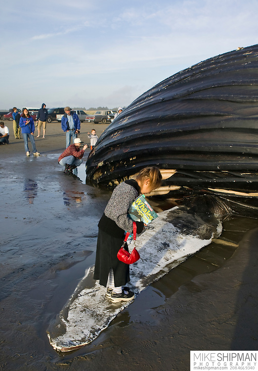 A young girl wearing a dress and holding a red purse and a book on whales and dolphins looks down while standing on the fin of a Humpback Whale (Megaptera novaeangliae) that had died at sea and washed up on shore