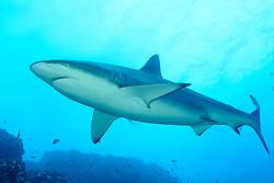 Galeocerdo cuvier, Tigerhai, Tiger shark, Insel Cocos, Costa Rica, Pazifik, Pazifischer Ozean, Cocos Island, Costa Rica, Pacific Ocean