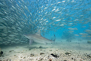 sandbar shark, Carcharhinus plumbeus, swimming into a school of akule or bigeye scad, Selar crumenophthalmus, Keauhou Bay, South Kona, Hawaii (the Big Island),  United States ( Central North Pacific Ocean )