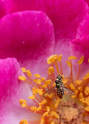 A Bee Pollinates A Pretty Pink Rose From The Garden