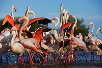 Greater Flamingos (Phoenicopterus roseus) in lagoon, Camargue, France