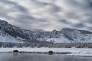 Bison graze along the edges of the Madison River during winter in Yellowstone