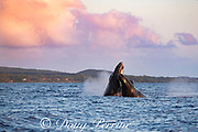 humpback whale, Megaptera novaeangliae, two males in competitive group slam into each other as they compete for dominance, just before sunset, Kihei, Maui, Hawaii, Hawaii Humpback Whale National Marine Sanctuary, USA ( Central Pacific Ocean )