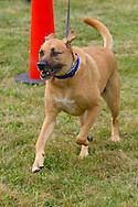 Monroe, New York - A dog follows a runner to the finish line in the third annual Southern Orange Family YMCA Tri/Duathlon & Run/Walk on Aug. 2, 2014.