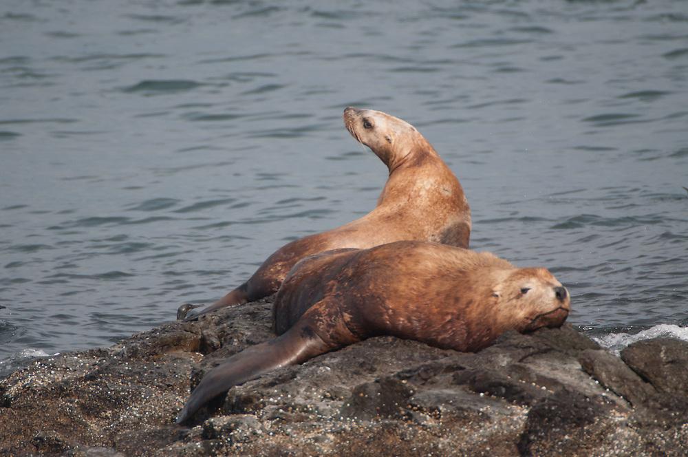 Steller Sea Lions (Eumetopias jubatus), San Juans Islands, Washington, US