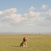 A portrait of a lone African Lion. Masai Mara National Reserve, Kenya, Africa