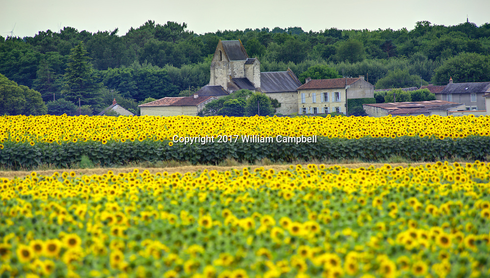 A field of sunflowers near the village of Le Bouchet in the Loire Valley, France.