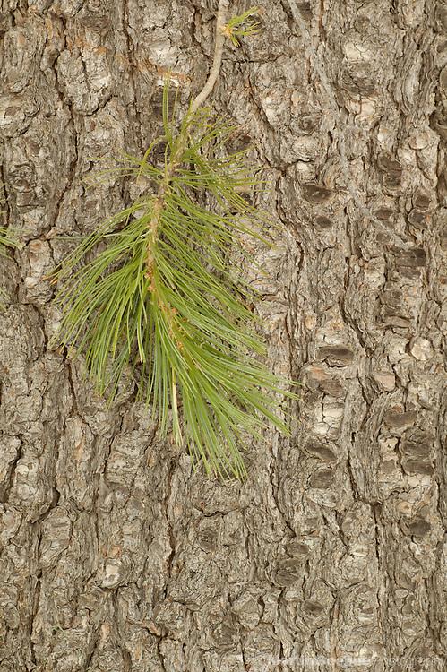 Pine needles and bark of southwestern white pine (Pinus strobiformis), Coronado National Forest, Arizona