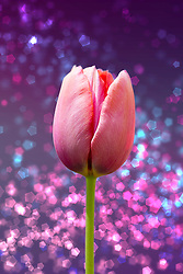 A Soft Pink Tulip on a Backdrop of Purple with Pink and Blue Glimmering Sparkles.