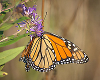 Monarch Butterfly Feeding on a Purple Wildflower. Image taken with a Nikon D2xs camera and 80-400 mm telephoto zoom lens (ISO 400, 400 mm, f/5.6, 1/750 sec).