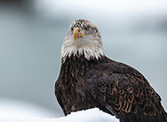 Juvenile Bald Eagle (Haliaeetus leucocephalus) perched on snow covered branch in Chilkat Bald Eagle Preserve in Southeast Alaska. Winter. Morning.