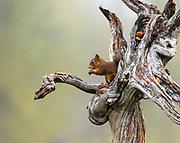 Eurasian red squirrel (Sciurus vulgaris) feeding on a rainy day.
