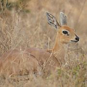 Steenbok, Malamala Game Reserve, South Africa.