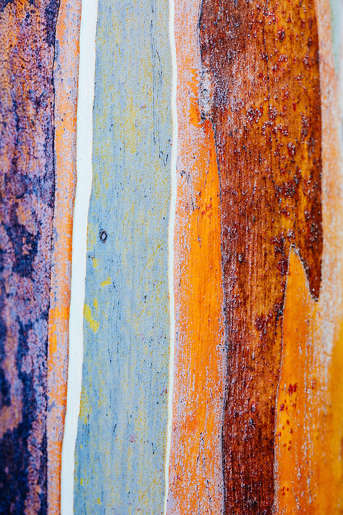 Close up detail of the trunk of a Tasmanian Snow Gum (Eucalyptus coccifera) at Mt Wellington.