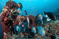 """Surgeonfish and Snappers congregate at a cleaning station.<br /> <br /> Shot at Cape Kri, Raja Ampat Islands, W. Papua Province, Indonesia<br /> <br /> Cape Kri is one of the """"fishiest"""" dives in the world.  Given its protection in the Raja Ampat Marine Protected Area, as well as its proximity to a resort that does a great job of """"policing"""" the adjacent areas, this reef is among the healthiest in the Coral Triangle."""