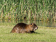 A capybara (Hydrochoerus hydrochaeris) is a giant cavy rodent native to South America. It is the largest living rodent in the world. Location: Pasarela Rio Arrayanes, Lago Verde, Los Alerces National Park (honored on UNESCO's World Heritage List), in Chubut Province, Patagonian region, Argentina, South America. (Spanish: Parque Nacional Los Alerces)