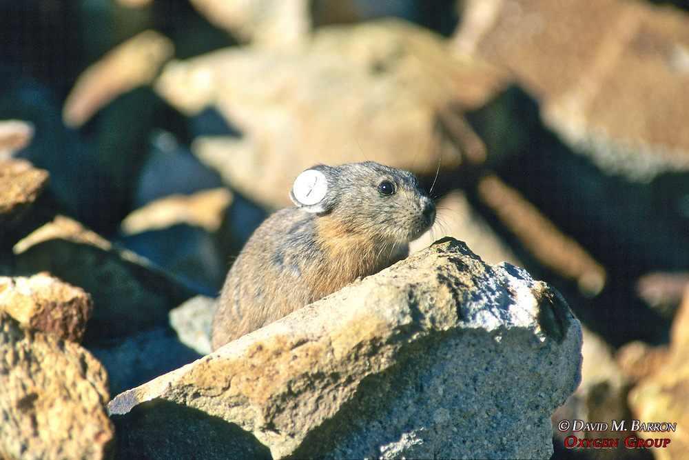 Pika On Rock (talus) With Ear Tag