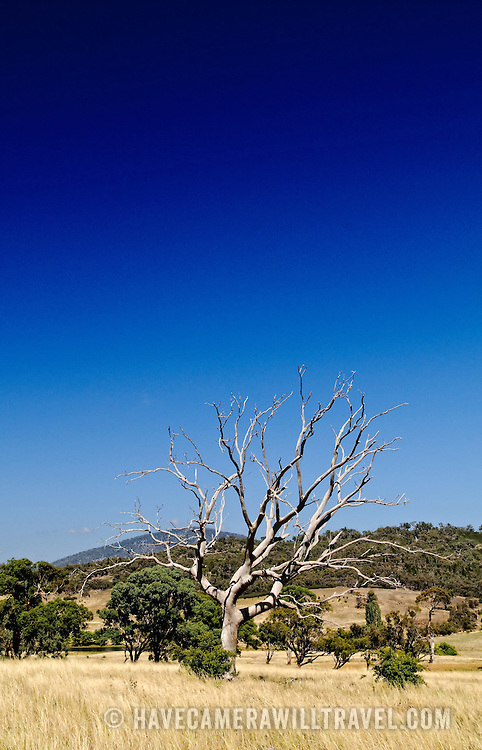 A solitary dead tree in the Australian outback