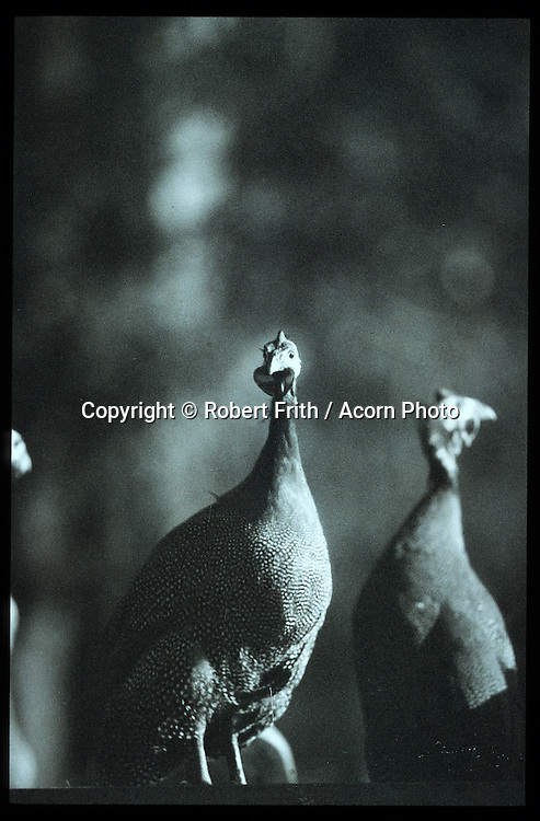 Guinea fowl at Pemberton Vineyard<br /> shot on Polaroid black and white transparency film