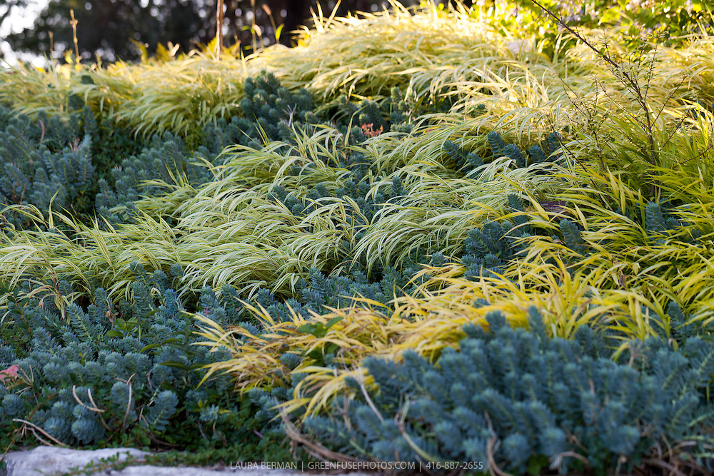 Gold-Striped Hakone Grass and blue Creeping Spurge as groundcovers on a hill.