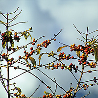 Americas, Central America, Guatemala, Lago Atitlan.  Coffee growing in a local farming region of Atitlan.