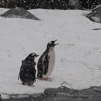A Gentoo Penguin and its parent endure a snowstorm on Booth  Island, Antarctica.