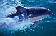 Common dolphin, New Zealand, Delphinus delphinus, leaping through waves, water, splashing, jumping, speed, fast moving