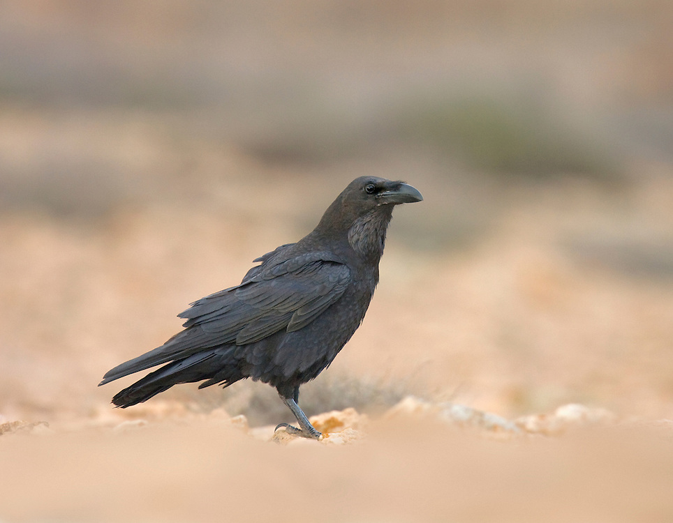 Canary Islands Raven - Corvus corax tingitanus