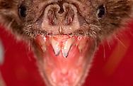 Deu, Deutschland: Vampirfledermaus (Desmodus rotundus), Portraet, close-up, Maul geoeffnet zum Biss, Vorderzaehne sichtbar, Universitaet Bonn, Nordrhein-Westfalen | DEU, Germany: Vampire Bat (Desmodus rotundus), portrait, close-up, mouth open for bite, front teeth visible, university of Bonn, North Rhine-Westphalia