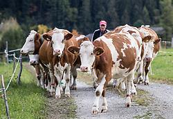 """THEMENBILD - Milch, die unter der populären Hofer-Marke """"Zurück zum Ursprung"""" verkauft wird, muss künftig ausschließlich von Kühen stammen, die 365 Tage im Jahr Auslauf haben. Das bedingt entweder einen Laufstall, oder – bei sogenannter """"Anbindehaltung"""" einen täglichen Spaziergang für das Rindvieh, der nur bei sehr extremen Wetterbedingungen ausfallen darf. hier im Bild Bio Landwirt Alois Groder bringt seine Kühe von der Weidefläche zurück in den Stall. Kals, Montag 8. Oktober 2018 // Milk sold under the popular Hofer brand """"Back to Origin"""" will in future only have to come from cows that have an outlet 365 days a year. This requires either a playpen, or - in so-called """"tethering"""" a daily walk for the cattle, which may fail only in very extreme weather conditions. Picture shows Organic farmer Alois Groder takes his cows from the pasture back to the barn. Kals, Austria on Monday, October 8, 2018. EXPA Pictures © 2018, PhotoCredit: EXPA/ Johann Groder"""