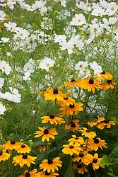Cosmos bipinnatus 'Purity' with Rudbeckia 'Indian Summer'