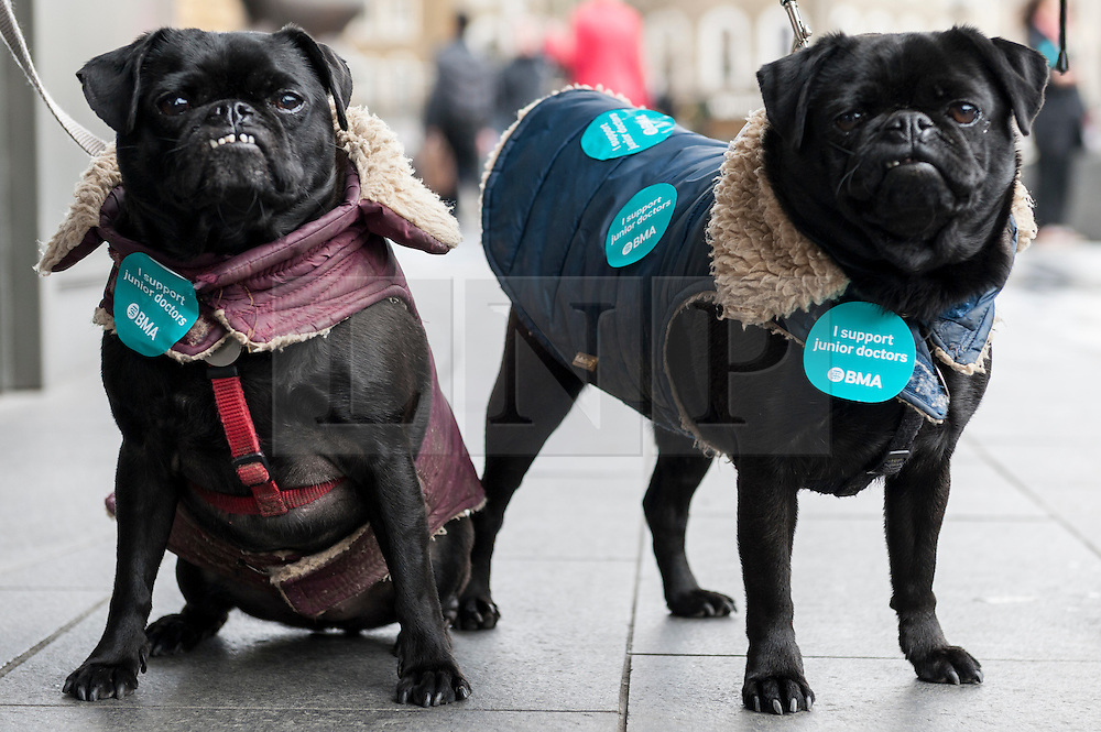 """© Licensed to London News Pictures. 06/04/2016. London, UK. A pair of pugs show their support as junior doctors hold an event outside King's Cross station for the public to """"meet the doctors"""" as they stage the fourth strike against changes to contracts. Photo credit : Stephen Chung/LNP"""
