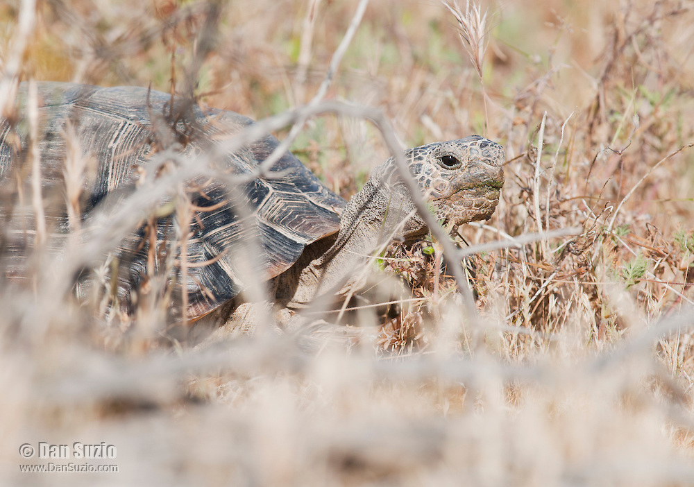A male desert tortoise, Gopherus agassizi, behind a shrub at the Desert Tortoise Natural Area, Mojave Desert, California. The tortoise is a state- and federally-listed Threatened Species.