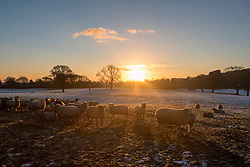 © Licensed to London News Pictures. 29/12/2014. Cheshire, UK. Sheep in a frosty field at sunrise.  Frosty and cold weather near Tarporley in Cheshire this morning 29th December 2014. The UK experienced one of the coldest nights this year. . Photo credit : Stephen Simpson/LNP