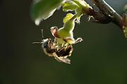 Männchen Andrena sp.