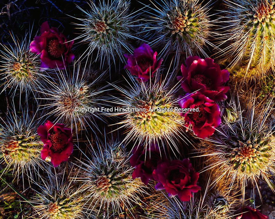 April blossoms of Strawberry Hedgehog Cactus, Echinocereus sp., Superstition Mountains, Arizona.
