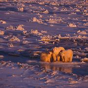 Mother polar bear and cubs at Hudson Bay, Canada.