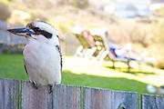A Kookaburra site on the garden fence, Australia. Native to Australia,