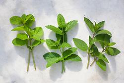 Mentha x piperita f. citrata - Eau de cologne mint, Mentha spicata 'Moroccan Mint' - Moroccan mint, Mentha x piperita f. citrata 'Chocolate' - Chocolate peppermint