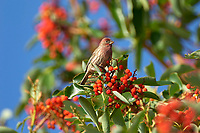 House Finch (Carpodacus mexicanus) eating fruit of Arbutus Tree, Gabriola Island, British Columbia, Canada