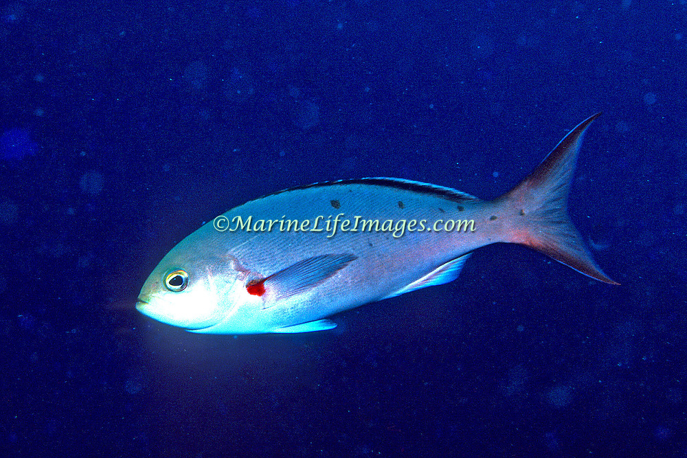 Atlantic Creolefish inhabit, deeper reefs, feeding on plankton in the water column above, in Tropical Wesst Atlantic; picture taken Roatan, Honduras.