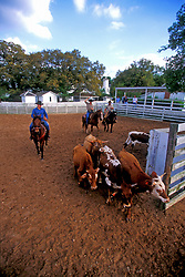 Texas cowboys herding cattle in the corral