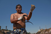 Umatilla tribe member Kanim Moses harvests Pacific Lamprey (Lampetra tridentata) at Willamette Falls, in the Willamette River near Oregon City. Tribes of the Columbia River Basin have treaty rights to harvest at the falls, and other places in the Northwest.