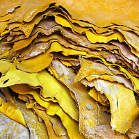 Africa, Morocco, Fes. Pile of yellow skins dyed in tanneries of Fes.